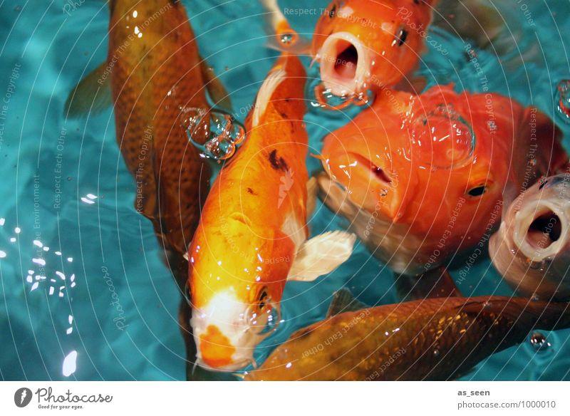 Hungaeraeraer Animal Fish Animal face Scales Aquarium Koi Ornamental fish Goldfish Fin Muzzle Fish mouth Group of animals Flock Swimming & Bathing To feed