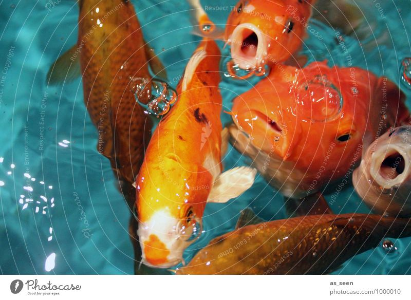 Nature Colour Animal Funny Swimming & Bathing Orange Illuminate Authentic Wet Group of animals Curiosity Fish Fluid Appetite Turquoise Animal face