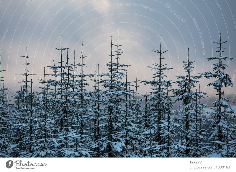 Winter firs 1 Vacation & Travel Environment Nature Ice Frost Snow Snowfall Forest Esthetic Bald branches Colour photo Subdued colour Exterior shot Deserted