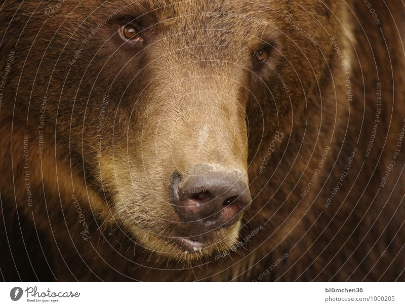 Cuddly Animal Wild animal Bear Brown bear Land-based carnivore Mammal Bearskin Head Eyes Nose Muzzle Pelt Animal face Threat Muscular Natural Strong Dangerous