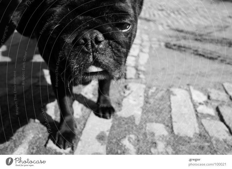 Black Dog Cool (slang) Curiosity Fatigue Mammal Snout Oversleep Pug