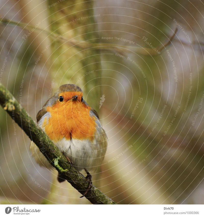 Robin on a twig Environment Nature Landscape Animal Winter Plant Tree Twigs and branches Branch Park Forest Wild animal Bird Songbirds Robin redbreast 1 Observe
