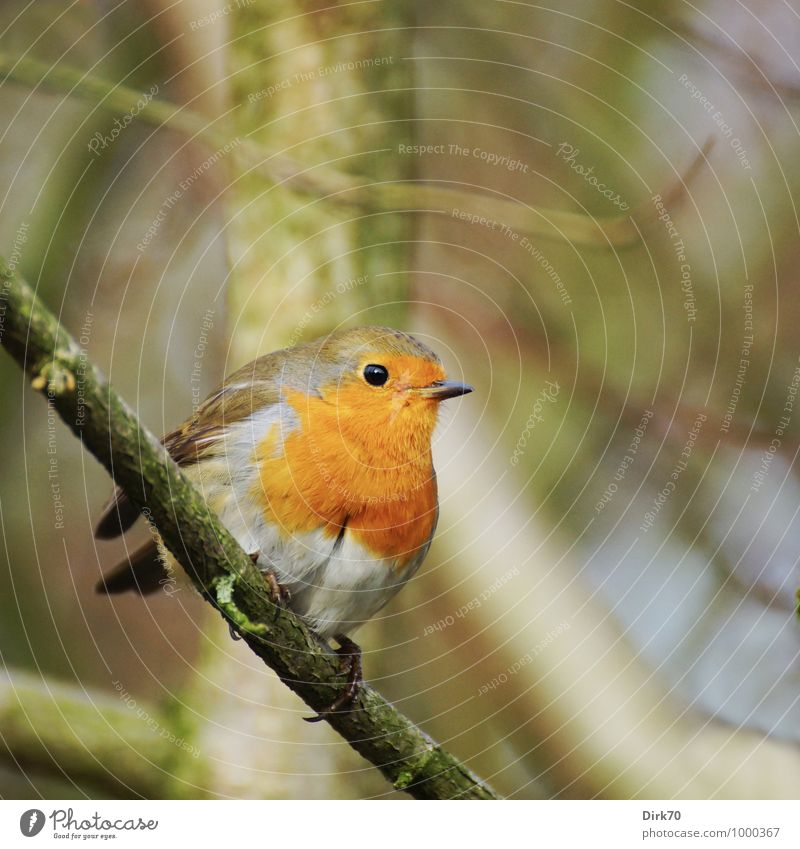 Arm yourself against the cold. Animal Winter Tree Twig Branch Forest Wild animal Bird Robin redbreast Songbirds 1 Observe Freeze Crouch Sit Cold Small Curiosity