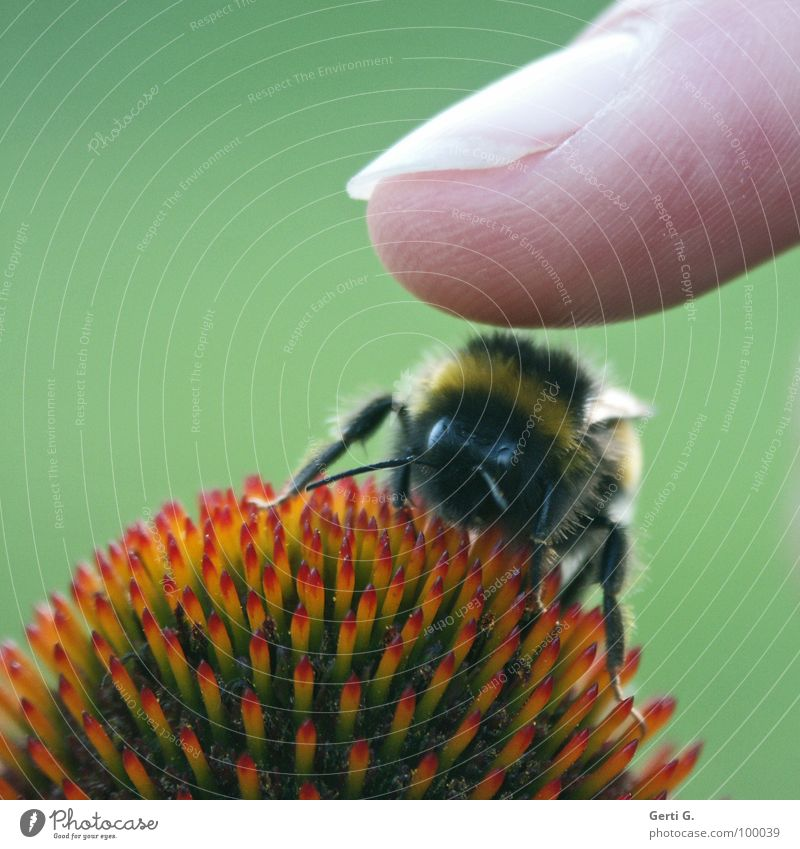 Green Red Joy Blossom Legs Fingers Dangerous Wing Point Touch Bee Fingernail Feeler Caution Striped Bumble bee