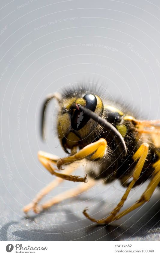 Aggressive Wasps Bee Hornet F/A-18D Hornet Insect Animal Pierce Poison Stripe Black Yellow Feeler Pair of pliers Tool Disgust Aggression Attack Nest Stick Larva