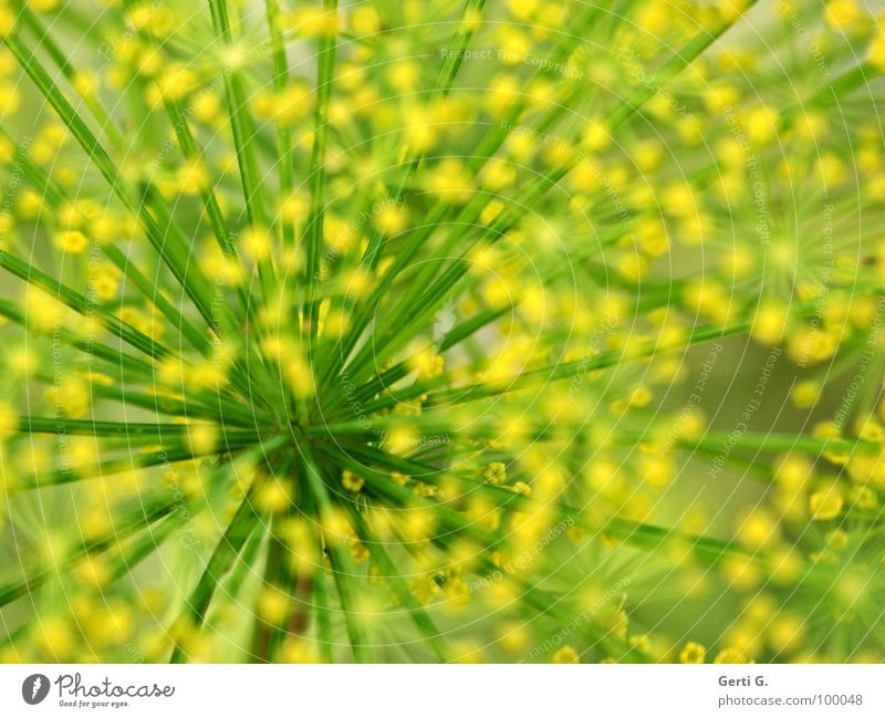 Green Yellow Point Stalk Muddled Abstract Spotted Medicinal plant Spokes Alternative medicine Rung Umbellifer Dill Garden plants