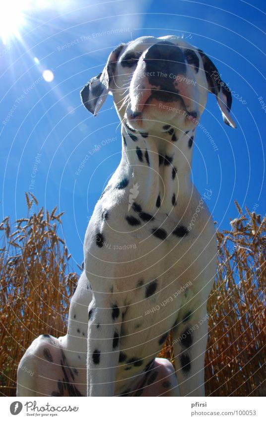 Sky White Sun Blue Summer Black Dog Field Point Hot Under Grain Mammal Pet Beige Snout