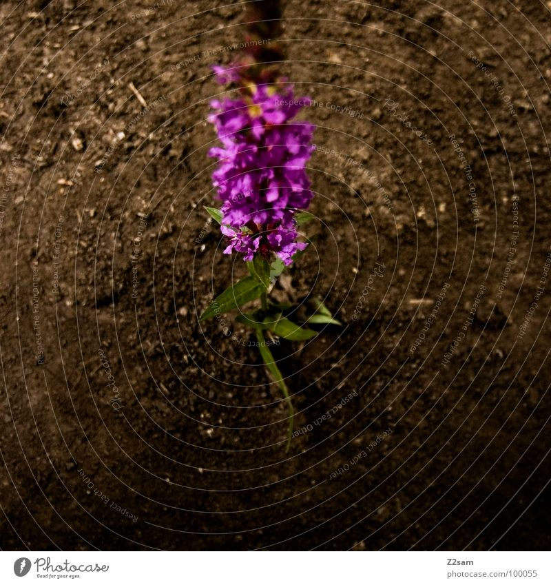 solitary flower Loneliness Flower Plant Violet Growth Blossom Fresh Summer Blur Earth Nature Multicoloured Odor