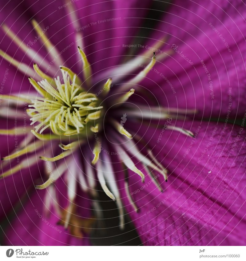 life Blossom Flower Violet Near Macro (Extreme close-up) Undo Spring Clematis Pollen Life Blossoming Primordial