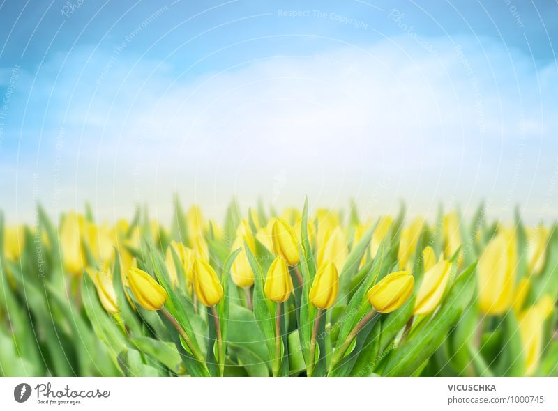 Yellow tulips field with blue sky Design Summer Garden Nature Plant Spring Tulip Park Meadow Field Bouquet Background picture Florist Tulip field Spring fever