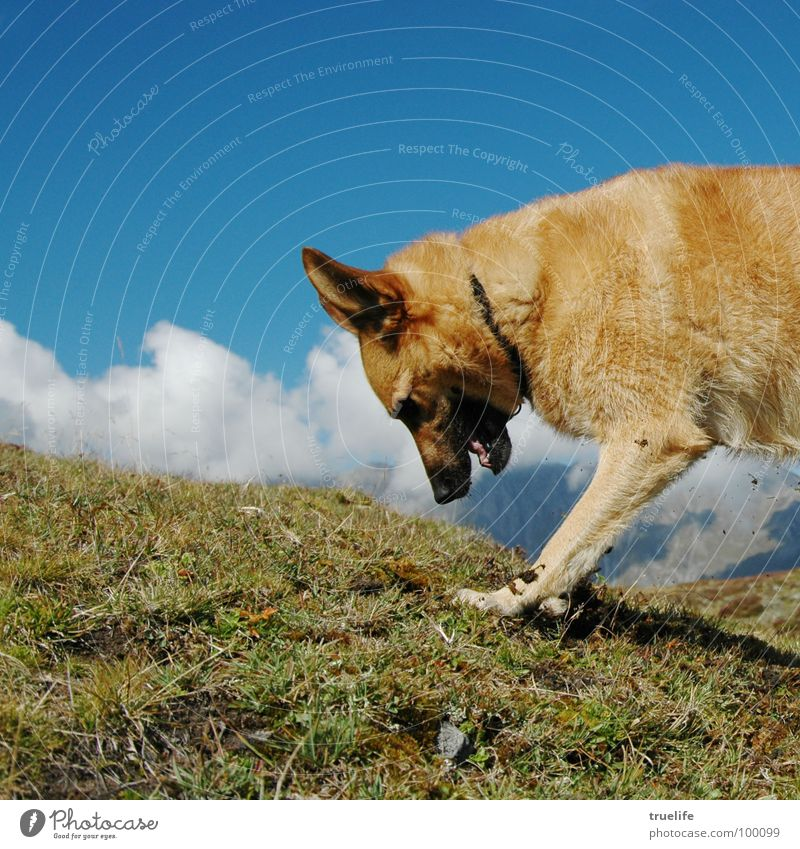 In search of... Dog Search Play instinct Switzerland Mammal Dig shepherd dog mongrel :-) Concentrate Alps