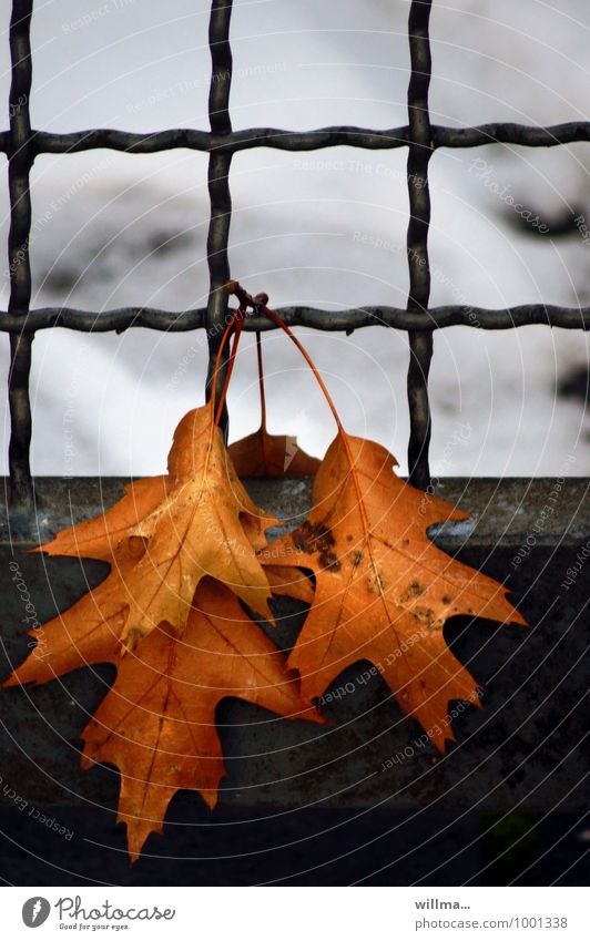 exercise sheet with grid lines Leaf Oak leaf Autumn Winter Snow Cold Grating Hang Limp Transience Relaxation To hibernate Exterior shot