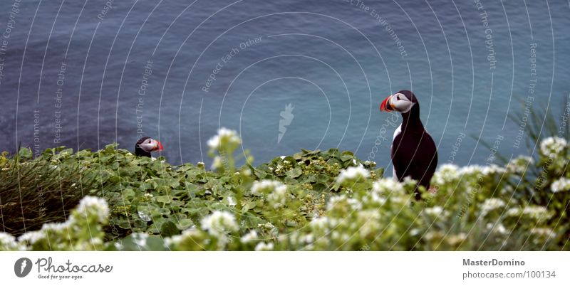 Clowns of the skies Puffin Bird Animal Flower Grass Ocean Blade of grass Blossom Lake Sea water Beak Multicoloured Clumsy Exterior shot Landscape Iceland