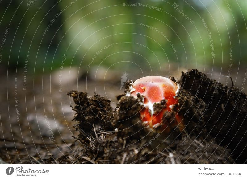 breakthrough Nature Autumn Amanita mushroom Mushroom Growth Red Beginning Breach Woodground Power Occur Colour photo Exterior shot Deserted Copy Space top