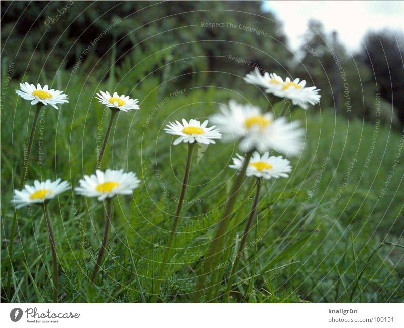 8 daisies Meadow Flower Green Daisy Edge of the forest Worm's-eye view Grass Summer Plant Stalk Blade of grass Yellow White Nature Lawn