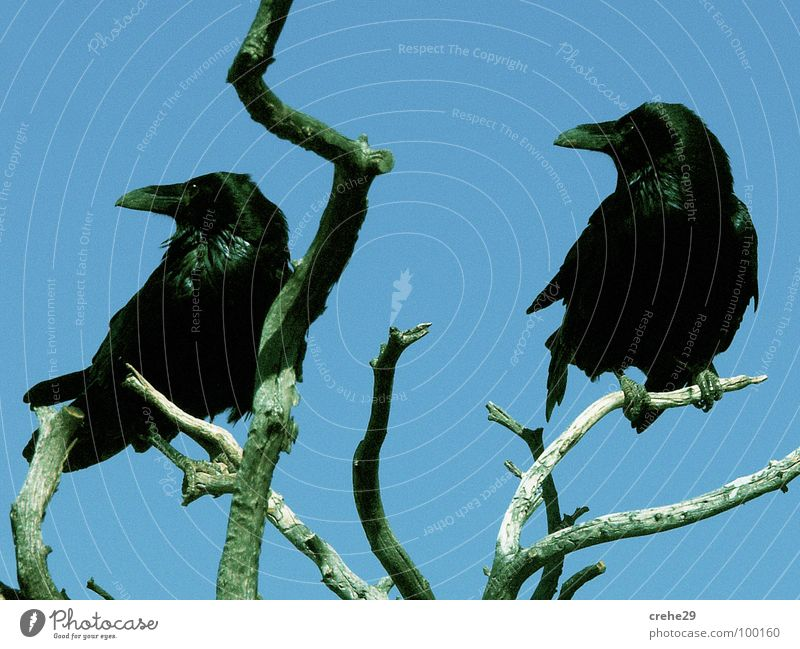 Sky Tree Blue Black Bird Vantage point Bushes Branch Concentrate Disaster Twig Twin Raven birds Crow Blue-green