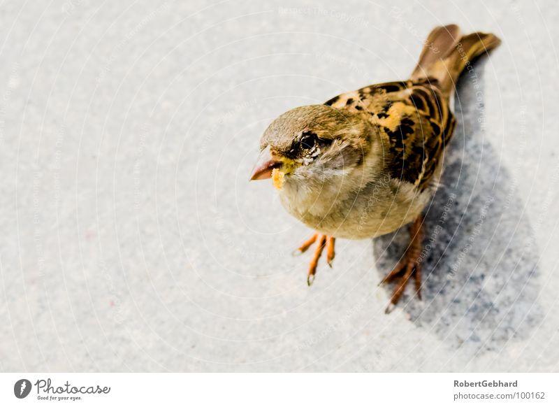 peep! Animal Bird Sparrow Gray Feeding Feather Trust Wing Looking new jaw birds passeridae Floor covering robert gebhard