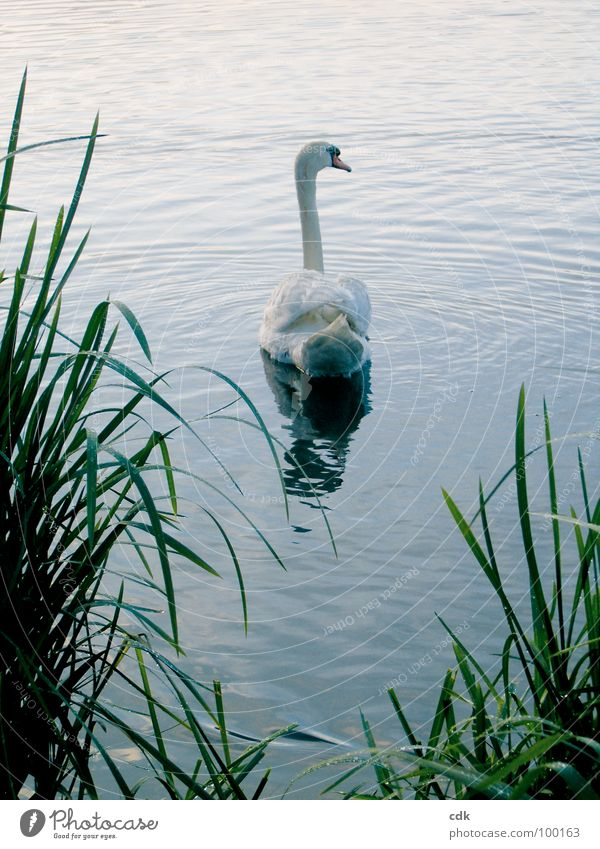 swan lake Swan Lake Body of water Animal White Pure Individual Perfect Beautiful Elegant Symbols and metaphors Common Reed Green Surface Glide Hover Reflection