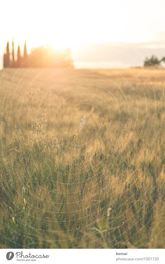 Evening at Chianti Environment Nature Landscape Plant Sunrise Sunset Sunlight Summer Beautiful weather Warmth Tree Grass Foliage plant Agricultural crop Cypress