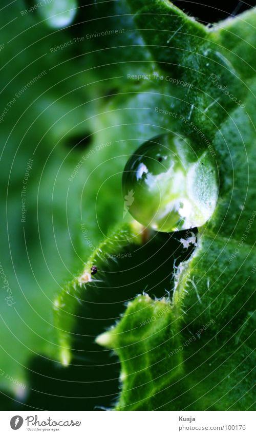 Kaplja Damp Wet Green Garden Park Drops of water cucumber leaf Rain Macro (Extreme close-up)