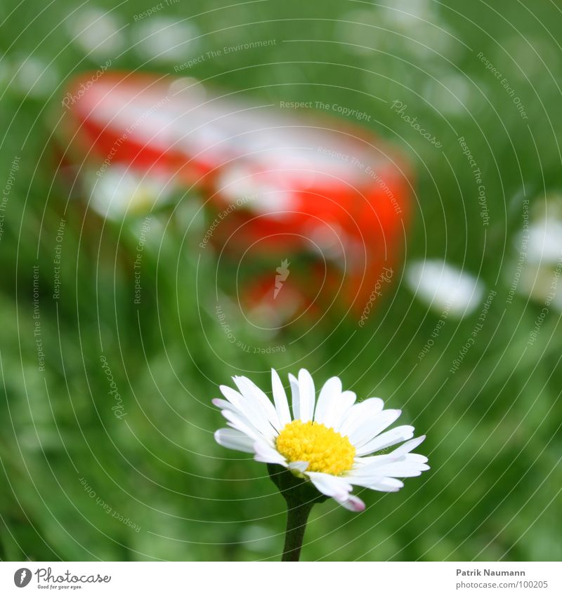 so late already? Blur Depth of field Daisy Blossom Flower Plant Grass Green Red Summer Summery Spring Detail Exterior shot Blossoming Blossom leave Day Sunlight