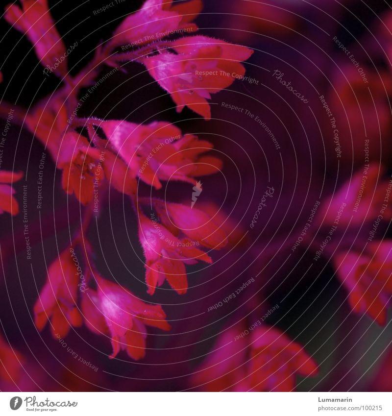 purple bells Plant Flower Blossom Multiple Pink Purple Magenta Black Small Beautiful Delicate Fine Diminutive Luminosity Force Strong Dark Lovely Romance Kitsch