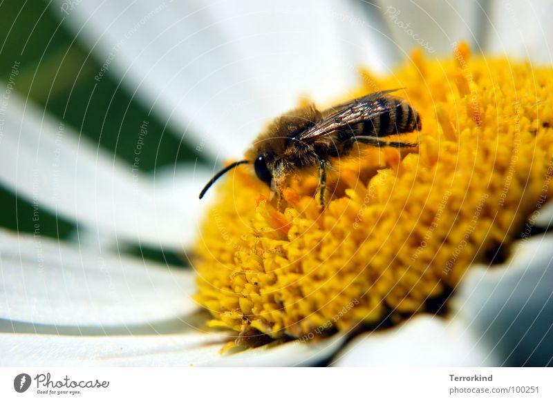 White Flower Eyes Yellow Legs Wing Bee Blossom Feeler Pollen Diligent Stamen Pistil Accumulate Nectar