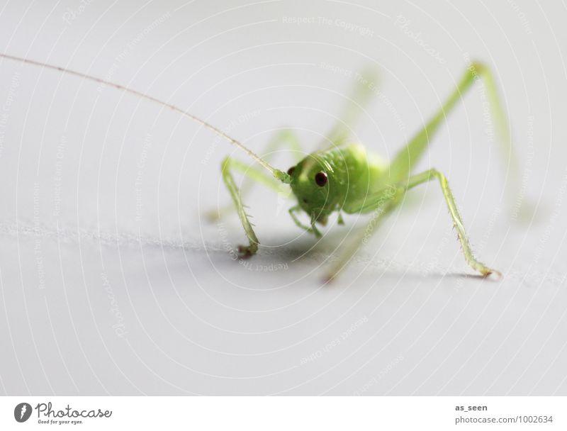 Jump! Elegant Life Environment Nature Animal Spring Summer grasshopper Locust Insect insect eye 1 Esthetic Fresh Small Cute Green Joie de vivre (Vitality)
