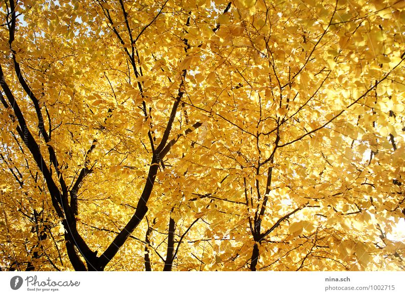 autumn / yellow leaves Garden Environment Nature Plant Tree Leaf Foliage plant Park Yellow Yellow-gold Autumn leaves Early fall Autumnal colours