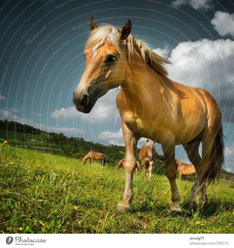 Horsy. Horse Haflinger Mane Pasture Animal Mammal paddock horses