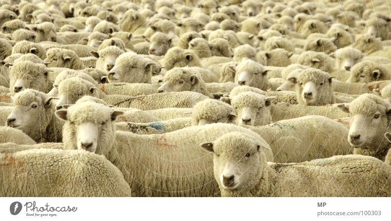 Animal Warmth Multiple Sleep Good Soft Pelt To fall Physics Agriculture Farm Sheep Stupid Craft (trade) Mathematics Sweater