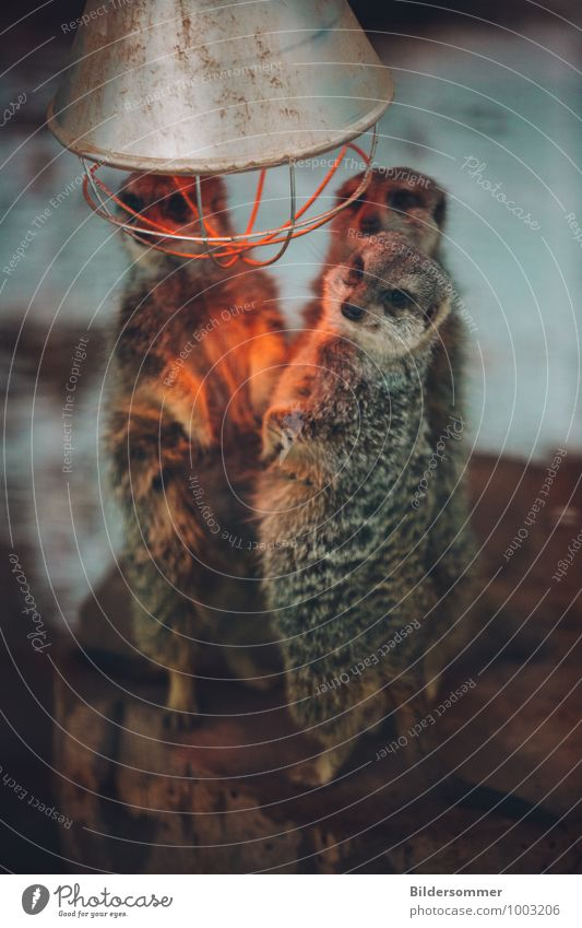 Animal Winter Cold Warmth Funny Gray Brown Orange Wild animal Stand Group of animals Cute Warm-heartedness Pelt Zoo Safety (feeling of)