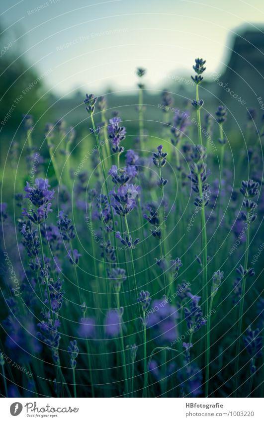 lavender Environment Nature Plant Flower Blossom Lavender Lavender field Emotions Happy Romance Beautiful Longing Fragrance Fragrant Violet Colour photo