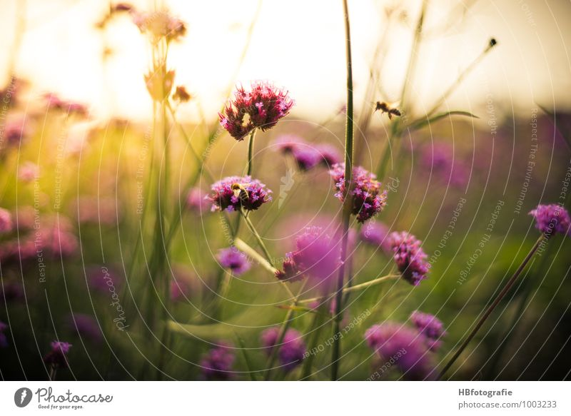 Nature Plant Green Summer Environment Blossom Pink Bushes Violet Belief Insect Fragrance Bee Summer vacation Summery Wild plant