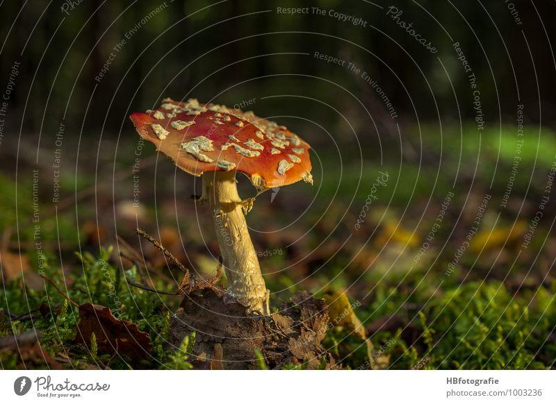 fly agaric Nature Plant Earth Mushroom Amanita mushroom Forest Discover Beautiful Romance Calm Dream Mushroom picker Poisonous plant Enchanted forest Fairy tale