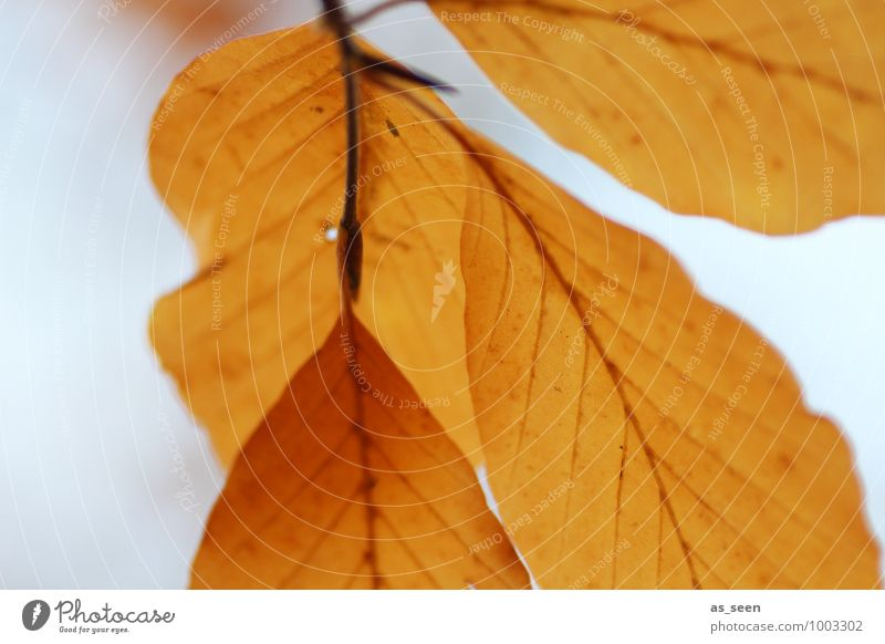 Autumn leaves Beautiful Wellness Harmonious Calm Environment Nature Plant Weather Tree Leaf Beech tree Beech leaf Rachis Deciduous tree Forest To swing Faded