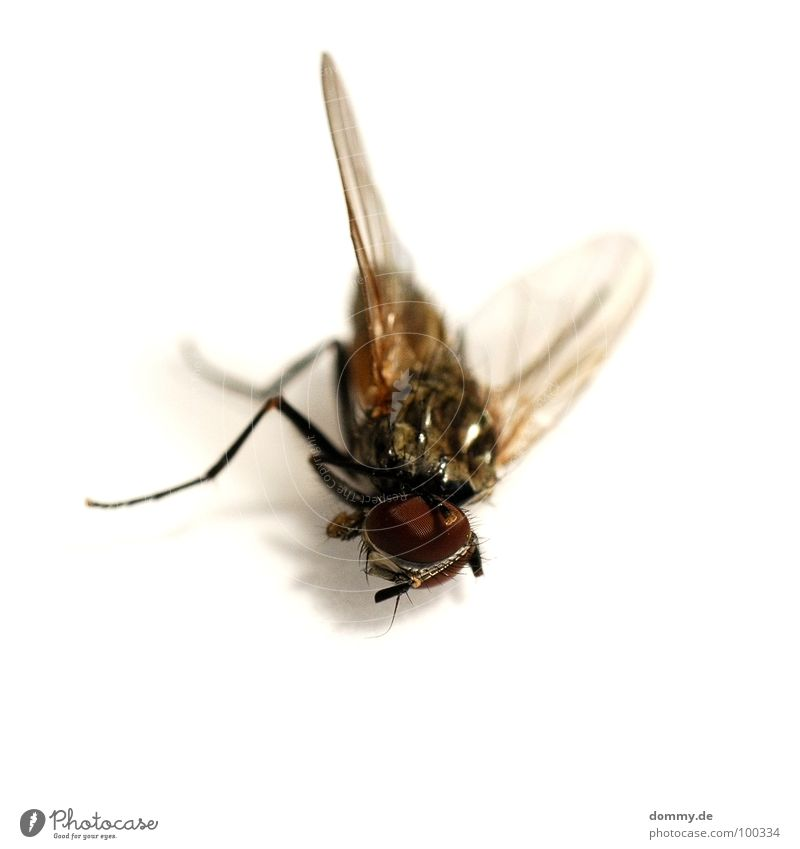 Eyes Life Death Legs Small Fly Flying Broken Wing Near Thin Compound eye Nuisance