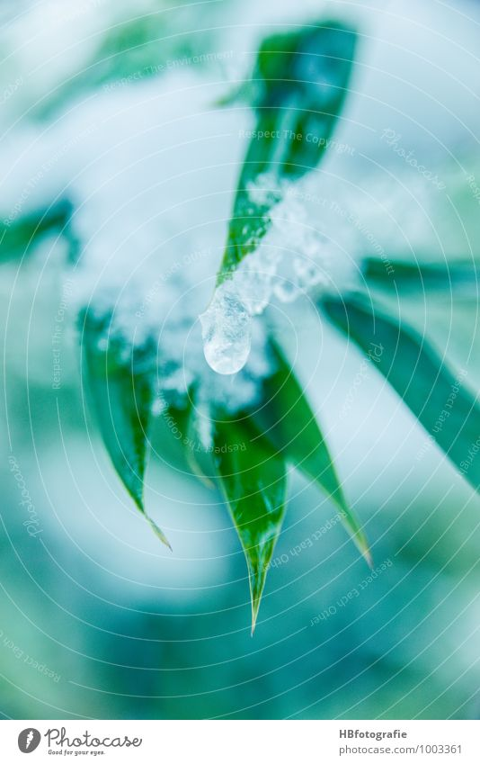 Ice Bamboo Nature Plant Water Winter Frost Snow Grass Foliage plant Exotic Fresh Cold Green White Thaw Drops of water Frozen bamboo leaf Colour photo