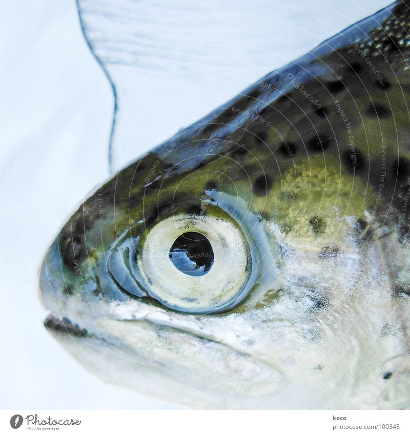 Water Eyes Lake Fish Brook Animal Trout Dazzling