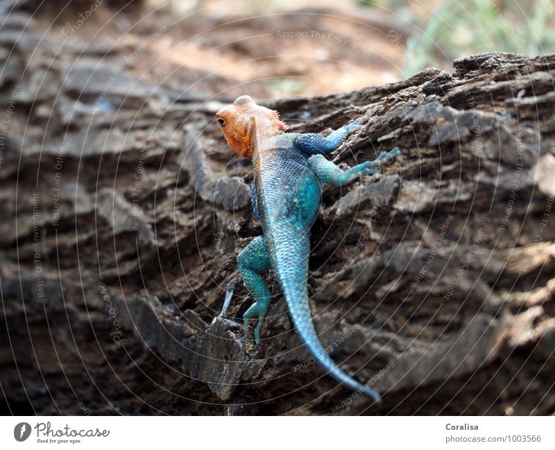 Nature Blue Tree Red Animal Exceptional Elegant Wild animal Observe Curiosity Exotic Tree bark Crawl Kenya Lizards Stop short