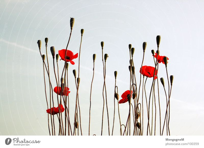 another poppy seed picture... Poppy Corn poppy Summer Field Meadow Physics Plant Sky Warmth Nature