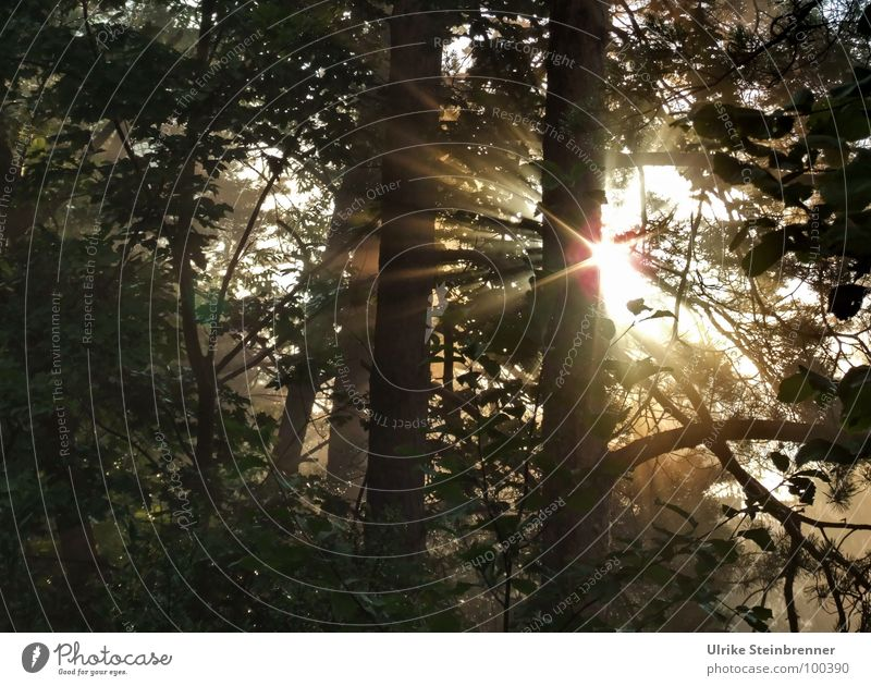 Morning sun shines through the trees Colour photo Exterior shot Deserted Dawn Light Shadow Silhouette Sunbeam Sunrise Sunset Summer Nature Plant Sunlight Fog