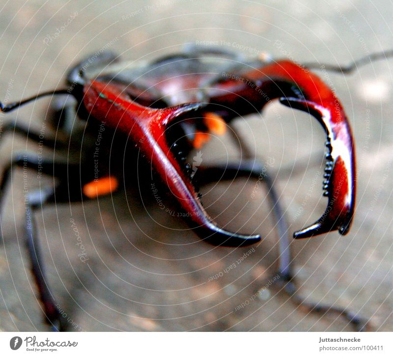 Insect Beetle Lacking Bow Seldom Stag beetle Endangered species