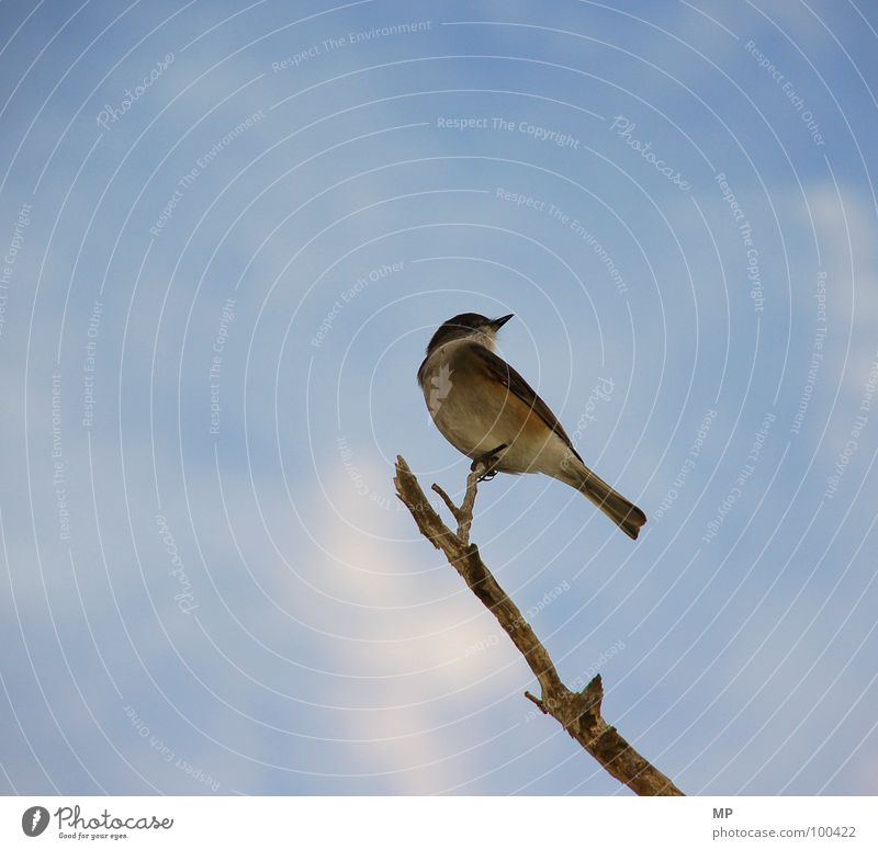 Nature Sky Animal Bird Flying Vantage point Feather Wing Branch Beak Sparrow Alarm Provocative Tit mouse