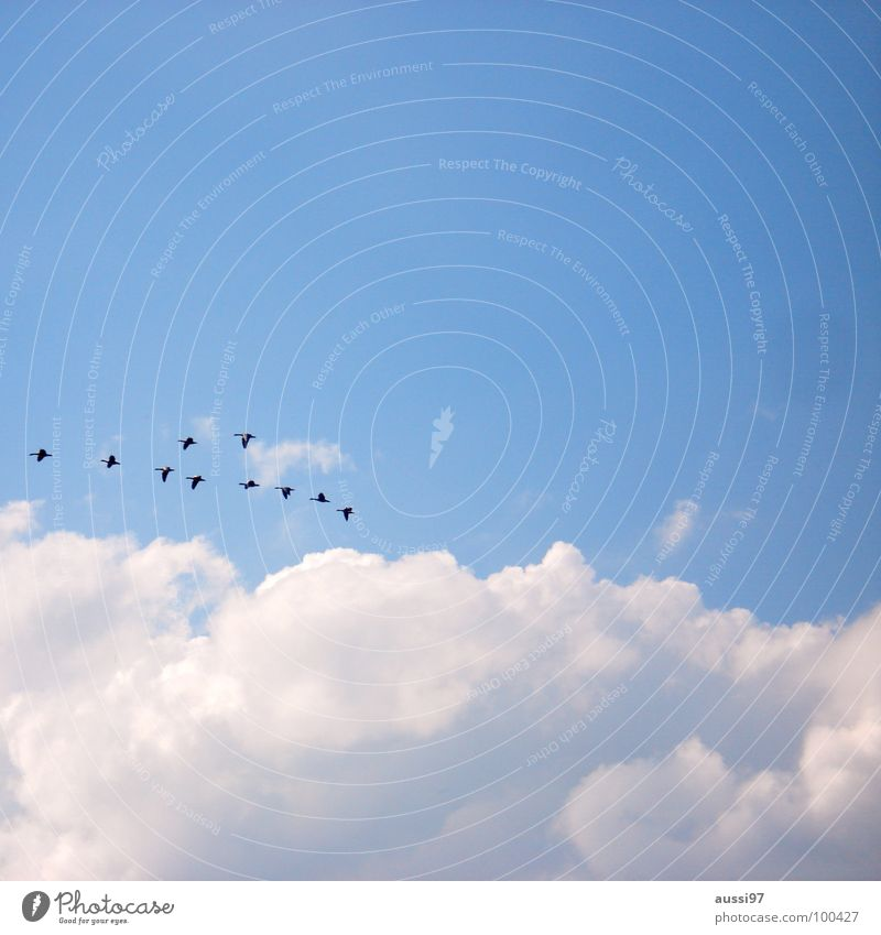 In formation Bird Goose Home Flat (apartment) Migratory bird Hover Beginning Return Peace Duck what do I know Sky Flying