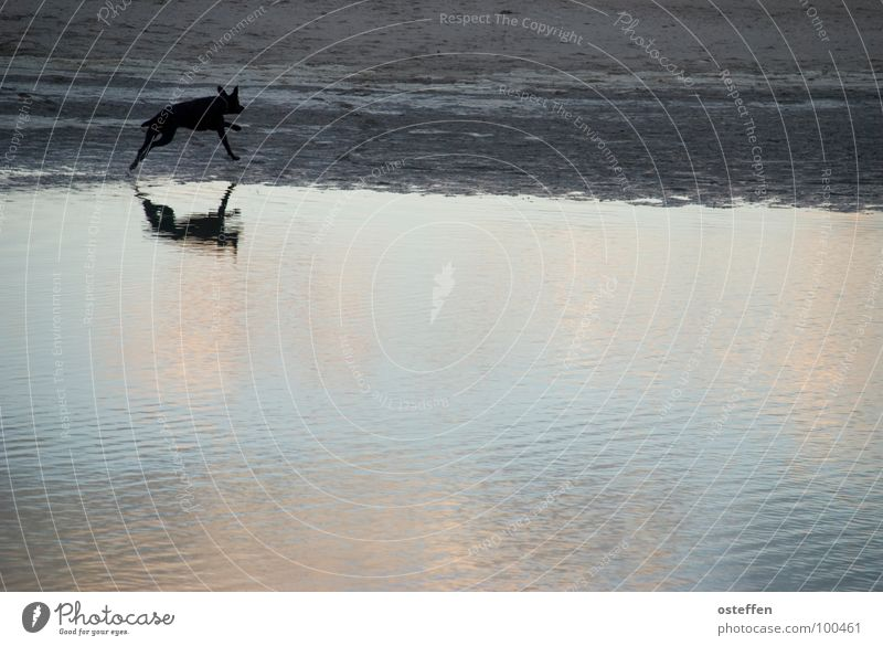 mirrored dog TRavemünde Animal Dog Black Hundred-metre sprint Structures and shapes Beach Reflection Ocean Monochrome Unicoloured Low tide Relaxation Mammal