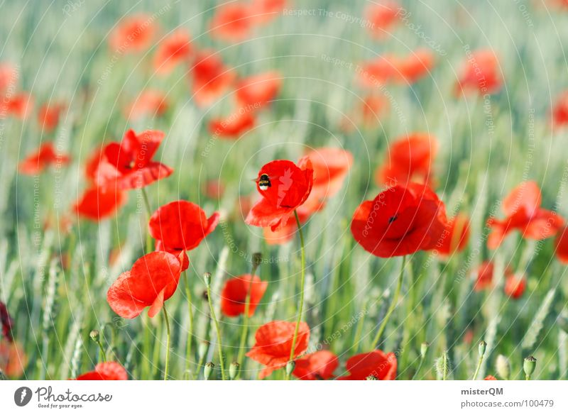 Nature Green Red Plant Summer Blossom Germany Field Flying Hot Insect Bee Poppy Harvest Delicious To enjoy