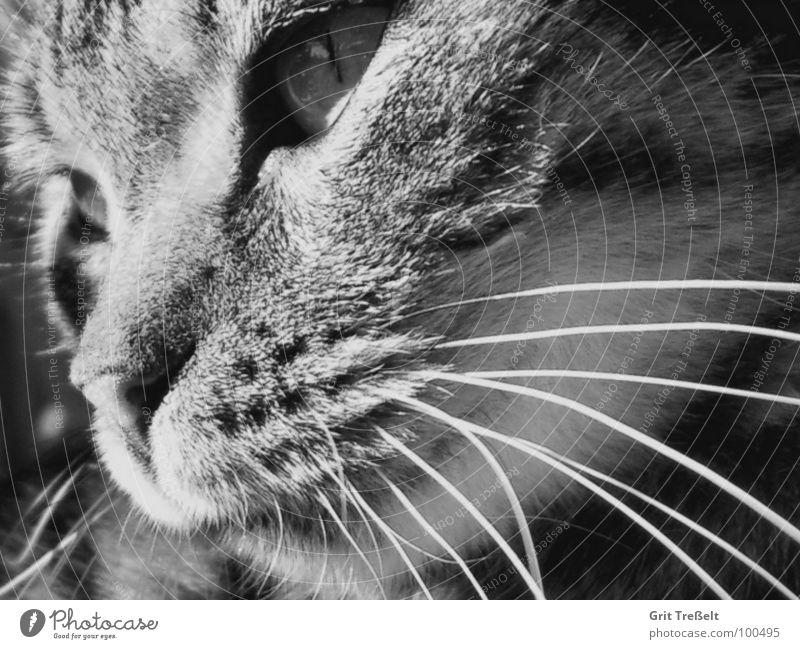 White Black Eyes Cat Nose Sweet Mammal Domestic cat