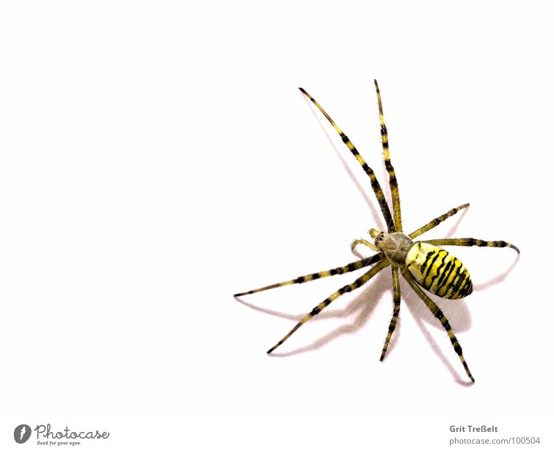 wasp spider Spider Disgust Small Macro (Extreme close-up) Black-and-yellow argiope Fear Eyes