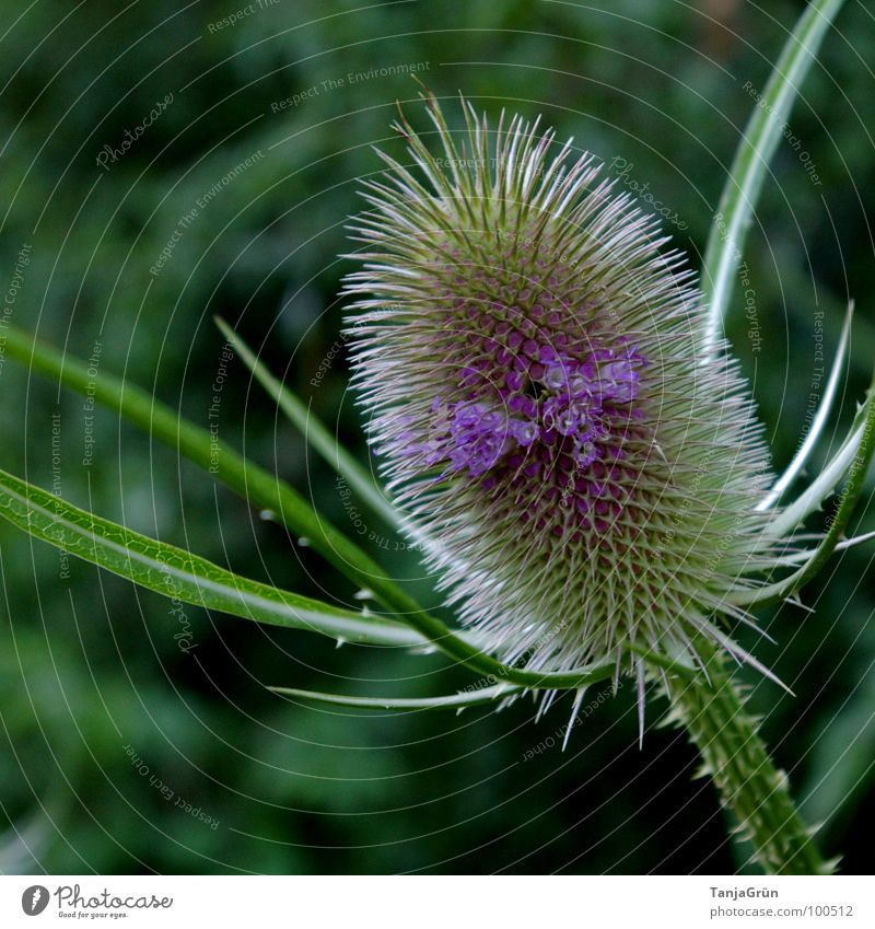 Nature Green Beautiful Plant Blossom Field Growth Point Violet Blossoming Pain Thorn Pierce Thistle Wayside